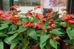 Κόκκινα λουλούδια φλαμίγκο Στοκ Εικόνες