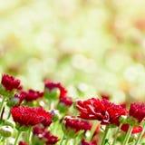 Κόκκινα λουλούδια χρυσάνθεμων στο μουτζουρωμένο υπόβαθρο Στοκ Φωτογραφία