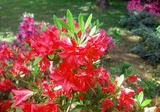 Κόκκινα λουλούδια Όμορφος κήπος λουλουδιών στοκ εικόνες