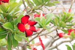 Κόκκινα λουλούδια Adenium Στοκ Εικόνες