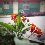 Κόκκινα λουλούδια ballerina στην οδό με το υπόβαθρο σπιτιών στοκ εικόνα με δικαίωμα ελεύθερης χρήσης