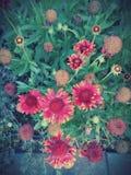 Κόκκινα λουλούδια Gaillardia στοκ φωτογραφία