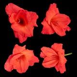 Κόκκινα λουλούδια gladiolus σε ένα μαύρο υπόβαθρο Στοκ Εικόνες