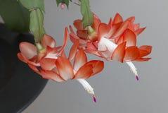 Κόκκινα λουλούδια Zygocactus Στοκ φωτογραφία με δικαίωμα ελεύθερης χρήσης