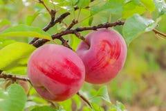 Κόκκινα μήλα σε έναν κλάδο Στοκ Εικόνα