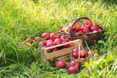 Κόκκινα μήλα στην πράσινη χλόη στον οπωρώνα στοκ εικόνες