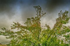 Κόκκινα μήλα στον κλάδο δέντρων μηλιάς Στοκ Εικόνα