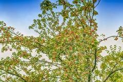 Κόκκινα μήλα στον κλάδο δέντρων μηλιάς Στοκ Φωτογραφία