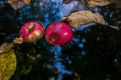 Κόκκινα μήλα και κίτρινα φύλλα φθινοπώρου Στοκ Εικόνα