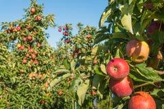 Κόκκινα μήλα που περιμένουν τις συλλεκτικές μηχανές στοκ φωτογραφία