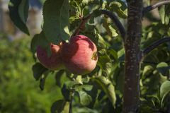 Κόκκινα μήλα σε έναν κλάδο δέντρων Στοκ Φωτογραφία