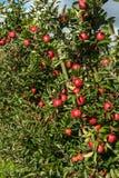 Κόκκινα μήλα σε μια φυτεία μήλων Στοκ εικόνες με δικαίωμα ελεύθερης χρήσης
