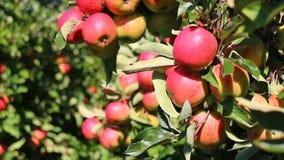 Κόκκινα μήλα στα δέντρα μηλιάς απόθεμα βίντεο