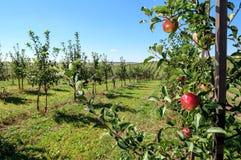 Κόκκινα μήλα στον κλάδο δέντρων Στοκ Εικόνες