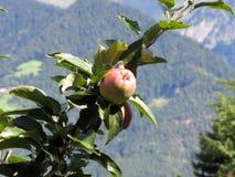 Κόκκινα μήλα στους κλάδους δέντρων με το υπόβαθρο βουνών Στοκ φωτογραφία με δικαίωμα ελεύθερης χρήσης