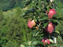 Κόκκινα μήλα στους κλάδους δέντρων Στοκ φωτογραφία με δικαίωμα ελεύθερης χρήσης