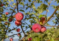 Κόκκινα μήλα στο δέντρο Στοκ εικόνα με δικαίωμα ελεύθερης χρήσης