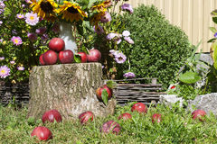 Κόκκινα μήλα στο κολόβωμα και τη χλόη στον κήπο Στοκ Εικόνες