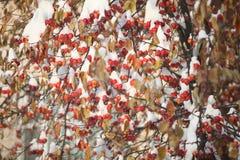 Κόκκινα μήλα της Apple στο χιόνι Στοκ φωτογραφίες με δικαίωμα ελεύθερης χρήσης