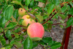 Κόκκινα μήλα της Ida Στοκ φωτογραφία με δικαίωμα ελεύθερης χρήσης