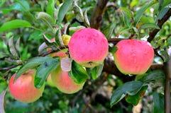 Κόκκινα μήλα της Ida Στοκ εικόνες με δικαίωμα ελεύθερης χρήσης