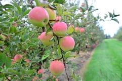 Κόκκινα μήλα της Ida Στοκ Εικόνα