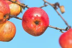Κόκκινα μήλα φθινοπώρου σε έναν κλάδο Στοκ Εικόνες
