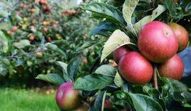 Κόκκινα μήλα ώριμα για Στοκ φωτογραφία με δικαίωμα ελεύθερης χρήσης