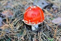 Κόκκινα μανιτάρι & x28 Amanita Muscaria, μύγα Ageric, μύγα Amanita& x29  στο πρόσθιο μέρος Στοκ Φωτογραφία