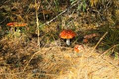 Κόκκινα μανιτάρι & x28 Amanita Muscaria, μύγα Ageric, μύγα Amanita& x29  στο πρόσθιο μέρος Στοκ Εικόνες