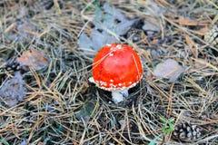 Κόκκινα μανιτάρι & x28 Amanita Muscaria, μύγα Ageric, μύγα Amanita& x29  Στοκ Εικόνες