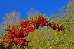 Κόκκινα μη φαγώσιμα φρούτα Στοκ εικόνες με δικαίωμα ελεύθερης χρήσης