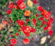 Κόκκινα μικρά λουλούδια φθινοπώρου Στοκ εικόνες με δικαίωμα ελεύθερης χρήσης