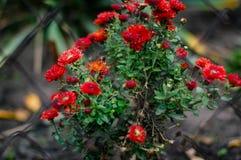 Κόκκινα μικρά λουλούδια φθινοπώρου Στοκ Φωτογραφίες