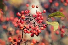 Κόκκινα μικρά μήλα ώριμα στο πάρκο φθινοπώρου Στοκ εικόνα με δικαίωμα ελεύθερης χρήσης
