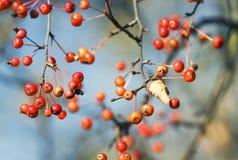 Κόκκινα μικρά μήλα ώριμα στο πάρκο φθινοπώρου Στοκ Εικόνα