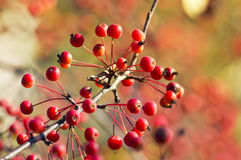 Κόκκινα μικρά μήλα ώριμα στο πάρκο φθινοπώρου Στοκ φωτογραφία με δικαίωμα ελεύθερης χρήσης