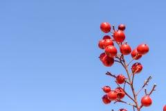 Κόκκινα μούρα ενάντια στο μπλε ουρανό στοκ φωτογραφίες