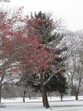 Κόκκινα μούρα και πάρκο Boise Αϊντάχο Morrison δέντρων πεύκων στοκ εικόνες