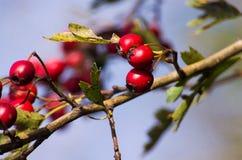 Κόκκινα μούρα κραταίγου Στοκ φωτογραφία με δικαίωμα ελεύθερης χρήσης