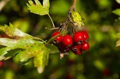 Κόκκινα μούρα κραταίγου Στοκ φωτογραφίες με δικαίωμα ελεύθερης χρήσης