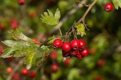 Κόκκινα μούρα κραταίγου Στοκ Φωτογραφίες