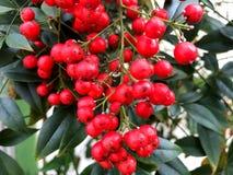 Κόκκινα μούρα με τα πράσινα φύλλα Στοκ Εικόνες