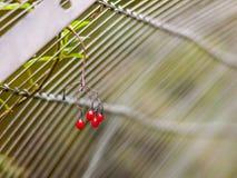 Κόκκινα μούρα που κρεμούν μπροστά από το υπόβαθρο πυλών μετάλλων Στοκ φωτογραφίες με δικαίωμα ελεύθερης χρήσης