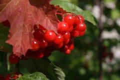 κόκκινα μούρα σε ένα δέντρο Στοκ φωτογραφία με δικαίωμα ελεύθερης χρήσης
