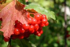 κόκκινα μούρα σε ένα δέντρο Στοκ Εικόνα