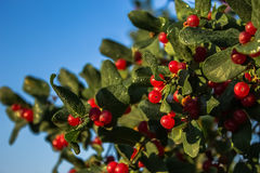 Κόκκινα μούρα σε πράσινο Στοκ εικόνα με δικαίωμα ελεύθερης χρήσης