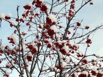 Κόκκινα μούρα σορβιών σε έναν κλάδο στο χιόνι σε ένα κρύο πρωί Στοκ Εικόνες