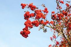Κόκκινα μούρα σορβιών στοκ εικόνα