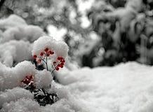 Κόκκινα μούρα στο Μπους που καλύπτεται με το άσπρο χιόνι Στοκ Φωτογραφίες